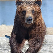 Big Bear Zoo Grizzly